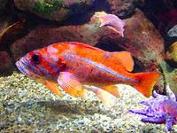 Orange Purple Fish