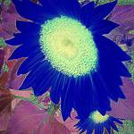 """Cobalt Sunflower"" by JoyceDickens"
