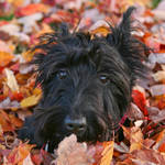 """Scottish Terrier"" by frameamoment"