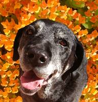 Old Black Lab