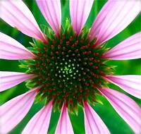 Coneflower Flag