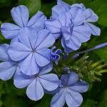 """Florida Blue Flower"" by ChuckDilmore"