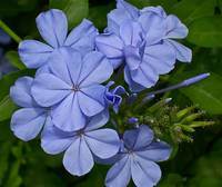 Florida Blue Flower