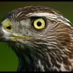 """""""Hawk Eye"""" by Angel1978"""