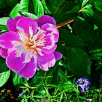 """peony1"" by GEMSPhotography"