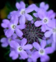 Gooding's Verbena - Softly Softly