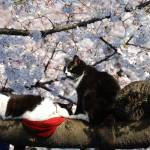 """Hanami(Cherry Blossom), Sakura and Cat..."" by Jabed"