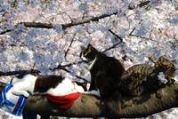 Hanami(Cherry Blossom), Sakura and Cat...