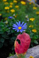 Cosmos and fallen autumn leaf