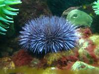 Sea Urchin brushed