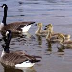 """Canadian Geese Family"" by Amy_Abe"