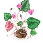"""Cyclamen purpurascens"" by kirke"