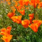 """California Poppy"" by homeofourfathers"