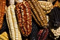 Colorful Corn