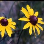 """Wild Yellow Daisies"" by EnjoyART"