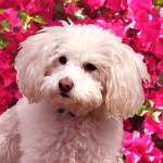 """Poodle on Backgroud of Bougainvillea"" by AmyVangsgard"