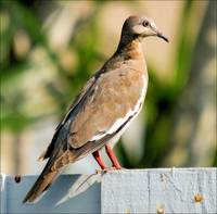 White Wing Dove