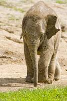 Baby Beco the Elephant at four months old