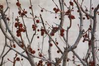 Red Sweetgum Seed Pods