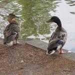 """Chatting Ducks"" by birdphotosandmore"