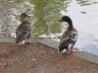 Chatting Ducks