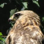 """The Hawk"" by birdphotosandmore"