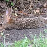 """Lazing Rabbit"" by birdphotosandmore"