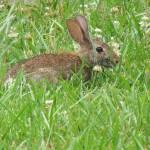 """Bunny in Grass"" by birdphotosandmore"
