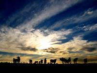 Before the sun set, the cattle gathered