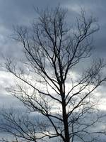 Grey sky & tree in winter