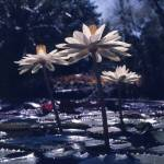 """Water Lily"" by EnjoyART"