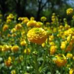 """""""Ranunculus flower"""" by tedbalmer"""