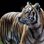 """Tiger2"" by GEMSPhotography"