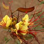 """Wild Mesquite - Texas Wildflower"" by rayjacque"
