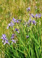 Wild Irises - Arizona Wildflower