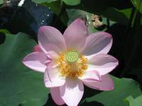 Lotus Lilly