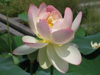 Mature Lotus Lilly