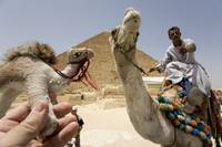 Camel at Giza, Egypt