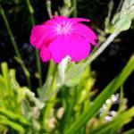 """Lavender Flower"" by JessiCakeLove"