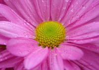 Soft Pink Daisy with Raindrops