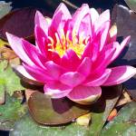 """PINK WATER LILY 2"" by DavidCreates"
