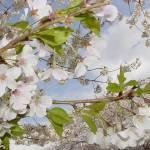 """Blossoms #4"" by Risha"