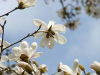 Magnolia WHITE Flower Art Blue Sky Spring Art