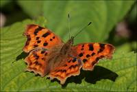 Comma  -  C-Falter (Polygonia c-album)