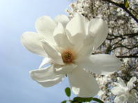 Spring White Magnolia Flower Art Blue Sky Art