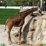 """""""giraffe"""" by christypoore"""