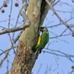"""""""Senegal Parrot"""" by parrots"""