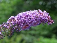 Butterfly Bush Pink Flower