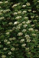 White hedge flowers