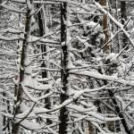 """Snowy Trees"" by Hevans"